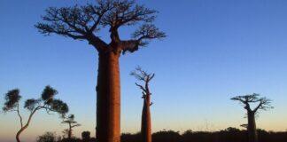Baobab Oil For Skin